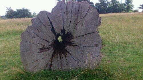 Fallen tree in Knole Park, Sevenoaks